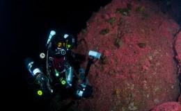 strawberry-anemones-ccr-diver