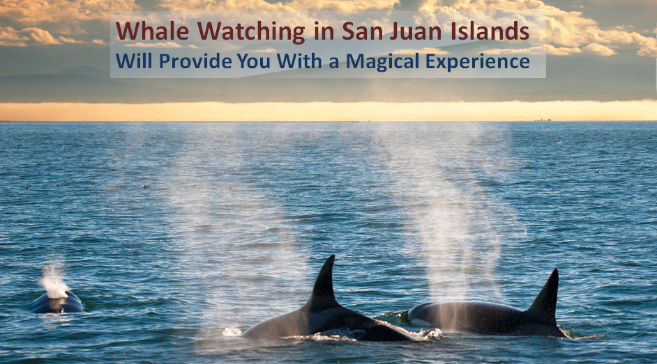 Whale Watching in San Juan Islands